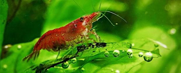 20 best images about Shrimp on Pinterest   Raising, Pets ...Freshwater Shrimp Pet