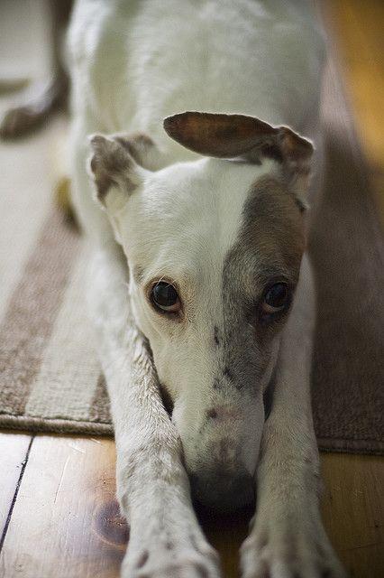 Gracie - http://www.pindoggy.com