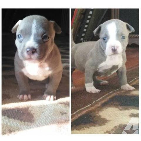 RAZORZEDGE X GOTTILINE PITBULLS (BLUES) for Sale in Sacramento, California Classified | AmericanListed.com