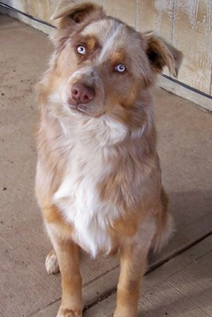 Border-Aussie hybrid (Border Collie / Australian Shepherd mix)  This is what my puppy should look like! :)
