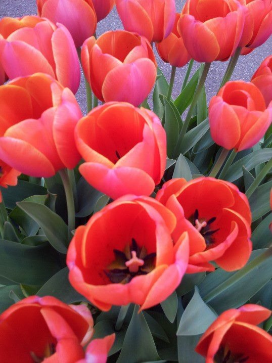 My absolute favorite flower - the tulip
