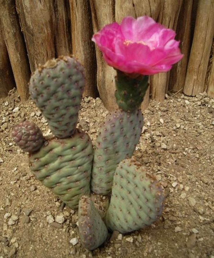 145 best opuntia images on pinterest
