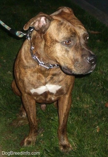 American Bull Staffy sitting on grass at night