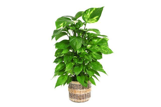 die besten 25 pflegeleichte zimmerpflanzen ideen auf pinterest raumklima topfpflanzen und. Black Bedroom Furniture Sets. Home Design Ideas