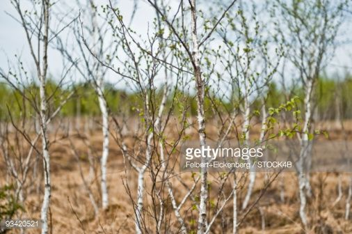 Stock Photo : Birch trees with sprouts, Sindelsdorf, Bavaria, Germany