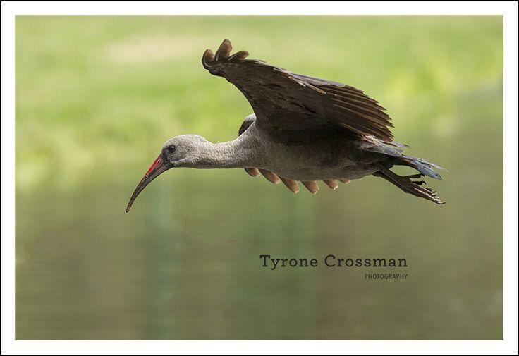 Hadeda Ibis in flight - Tyrone Crossman