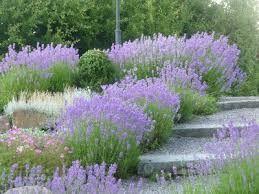 Bildresultat för lavendel slänt