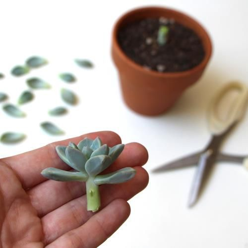 How to propagate succulents.  They are easy to take care of and so many different ones to chose from.
