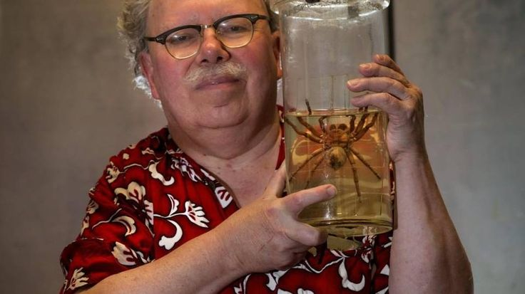 Rod Crawford, spider expert at the Burke Museum, holds a Goliath Bird Eater (Theraphosa blondi), which hitched a ride to Seattle from Cuba on some produce. This is a smallish example of a Goliath, the largest spider species in the world by mass and size. No, they don't eat birds.