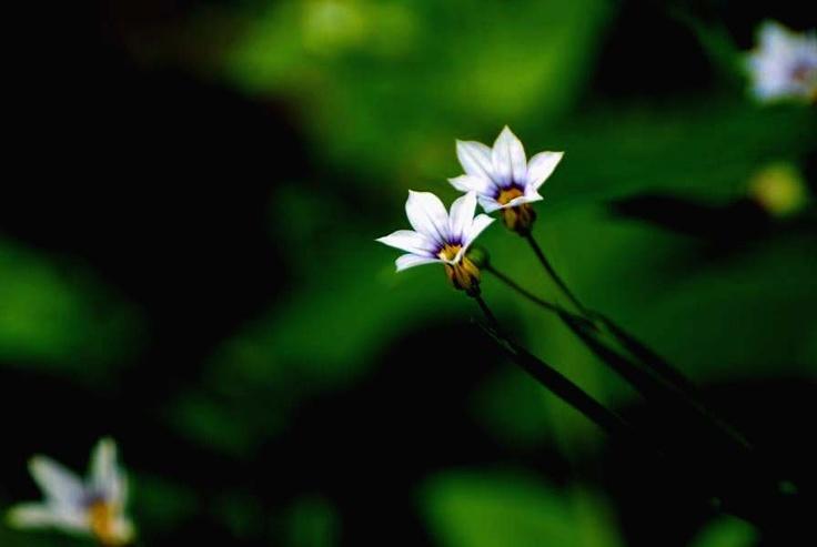 야생화(등심붓꽃)