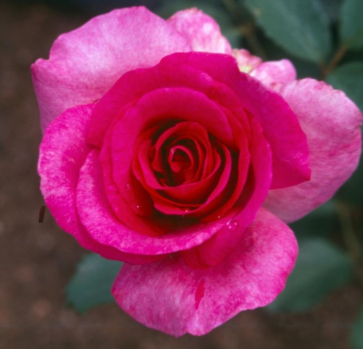 'Zulu Royal Rose' for your touch of royalty..Get 20% off on Human Rights Day at all Ludwig Rose Centres.