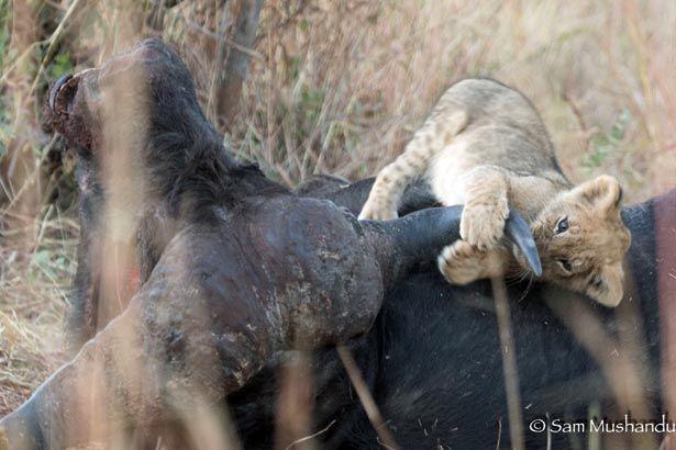 Ngamo Cubs Play Buffalo Soldiers