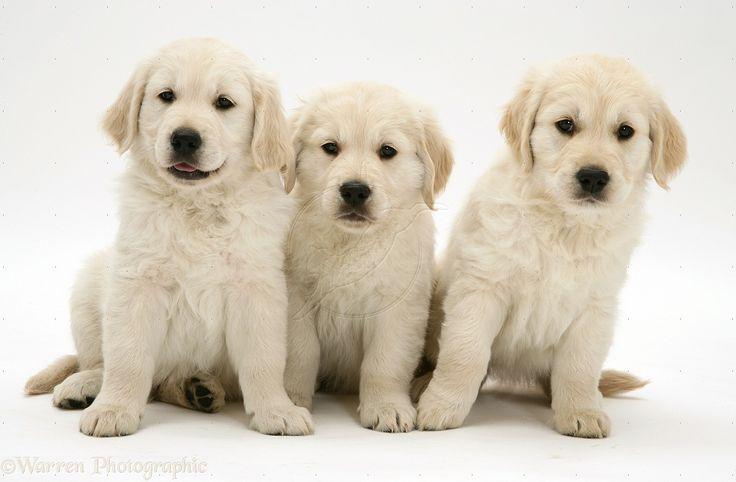 golden retriever puppies information