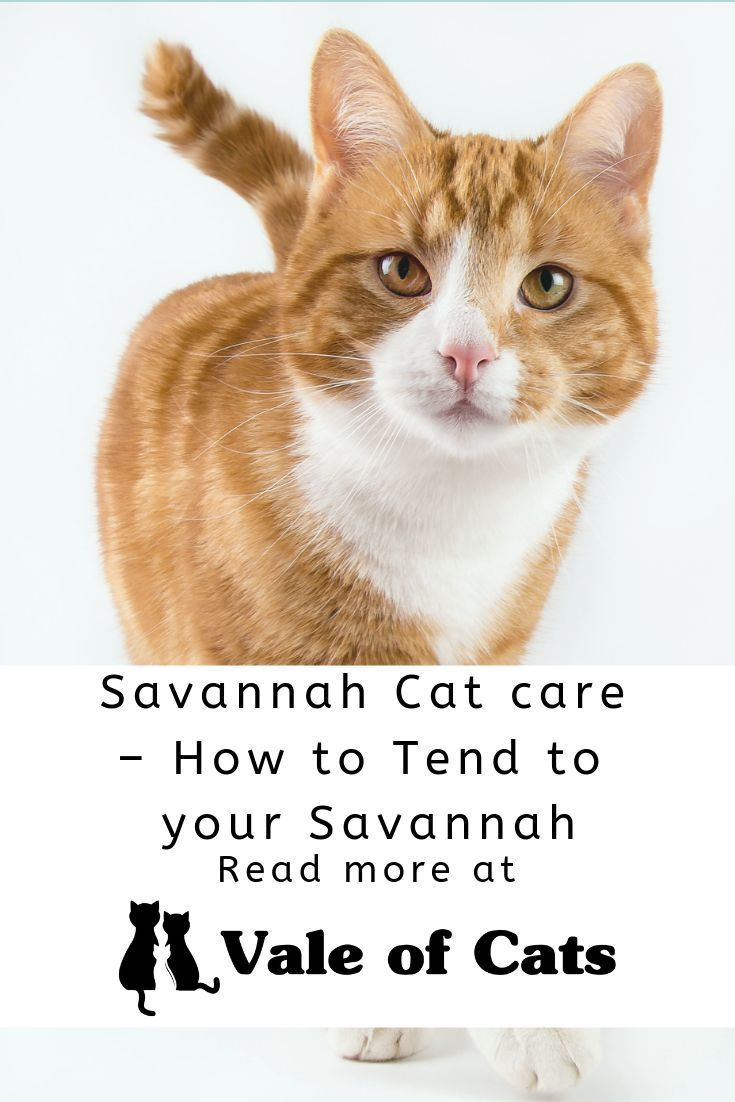 Savannah Cat care - How to Tend to your Savannah | Cat Care