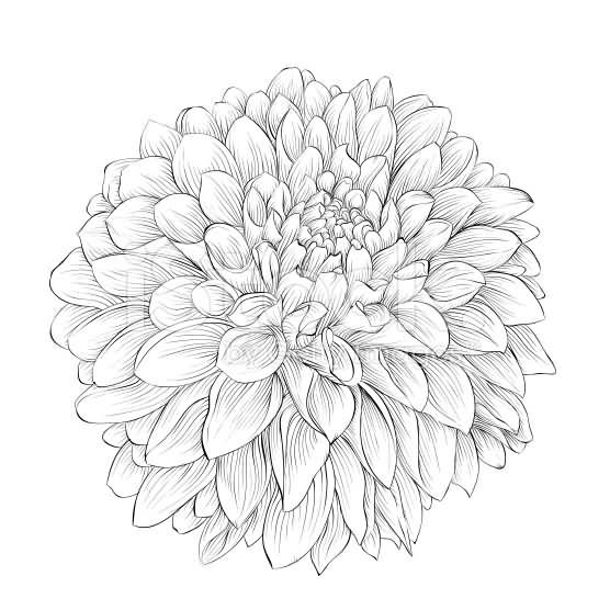 Grey Ink Dahlia Flower Tattoo Design