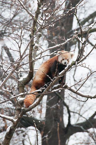 Red panda in snow, National Zoo, Washington, D.C.