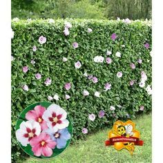 Hibiskus-Hecke, 10 Pflanzen - BALDUR-Garten GmbH