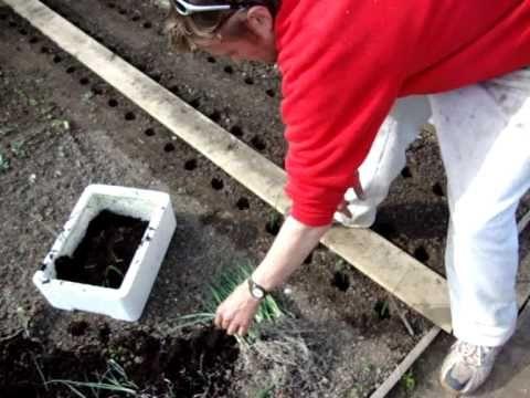 Allotment Diary : How to transplant leeks plants : Planting Leeks