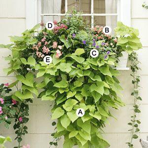 A. Sweet potato vine (Ipomoea batatas 'Margarita') -- 2 B. Snapdragon (Antirrhinum 'Floral Showers Rose Pink') -- 2 C. Browallia 'Blue Bell' -- 1 D. Pentas 'Graffiti Pink' -- 1 E. Snapdragon (Antirrhinum 'Floral Showers Apricot') -- 1
