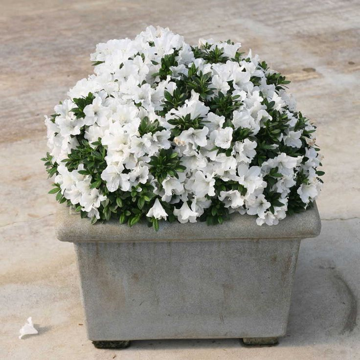 Bloom-a-Thon® White Azalea
