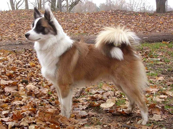 Icelandic Sheepdog | Icelandic Sheepdog Information and Pictures, Icelandic Sheepdog