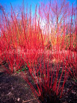 Winter Garden: Colorful Stems  Cornus alba sibirica.  Dogwood