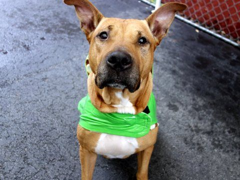 SHARKY - A1053385 - - Manhattan  TO BE DESTROYED 10/10/15 A volunteer writes: Majestic, regal, stunning, elegant… Sharky is a tall girl, dressed in a gorgeous caramel color coat, her bearing that of royalty. She's magnificent! Happy to be chosen first for a walk, she took care of her business the moment we were out the door. As it's raining, Sharky allows me to put a raincoat on her and off we go. She pulls slightly on leash, nothing major, and wags her ta
