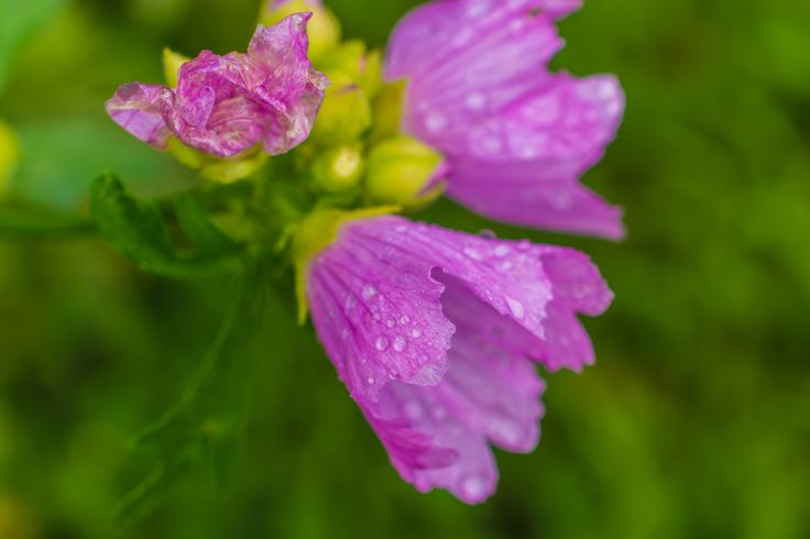 Pink Flower with Waterdrops by 5 Elementals on 500px
