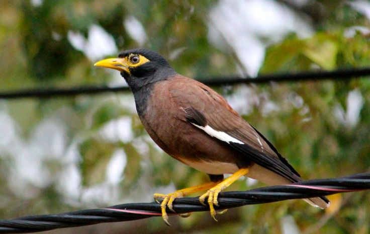 This bird is the most widely detested bird in Australia. Not because of its looks, or its call, but because it is an immigrant which preys on native birds.  It is the Indian mynah, and it is the same everywhere it has gone. It works together with its many brothers and cousins to colonise a tree so that none of the locals may nest there, and aggressively drives them further afield with each passing year.