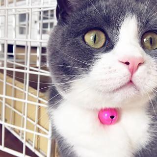 🐾---1y Happy Birthday オレ👑✧ オレも鈴もすっかり大きくなったぜよ。 1歳のオレもよろしく頼むなり。 …ん? 鈴も大きくなってる…だ  と? ⋆ #ちちルーム #ブリティッシュショートヘア #ブリショー #ブリ商会 #猫 #ねこ #ネコ #愛猫 #みんねこ #ねこ部 #猫部 #フェリシモ猫部 #ペコねこ部 #ふわもこ部 #britishshorthair #cat #kitten #lovekittens #ilovecats #lovelycat #meow #catsofworld #catsofinstagram #catstagram #instacat #instaanimal #ねこのいるあ生活 #にゃんすたぐらむ #にゃんだふるらいふ #nyaspaper