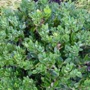 20 Best Calamagrostis Images On Pinterest Feather Reed