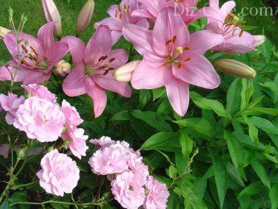Лилии и розы на клумбе