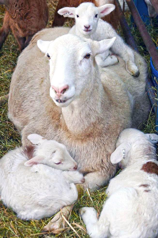 Spring Lamb Family