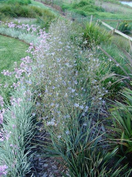 143 best images about gardening grasses and grass like for Large grasses for landscaping