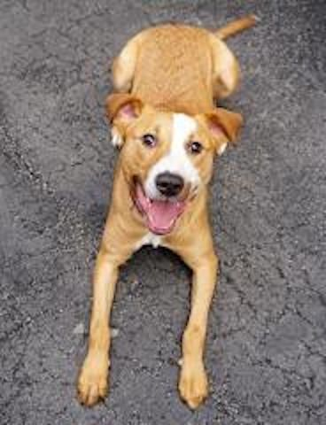 Super Urgent Manhattan - ANGEL - #A1079620 - **RETURNED 11/23/16** - SPAYED FEMALE TAN/WHITE LABRADOR RETR MIX, 1 Yr - OWNER SUR - ONHOLDHERE, HOLD FOR ID Reason  NO TIME - Intake 11/23/16 Due Out 11/23/16 - - FRIENDLY, HYPER, ALLOWS ALL HANDLING