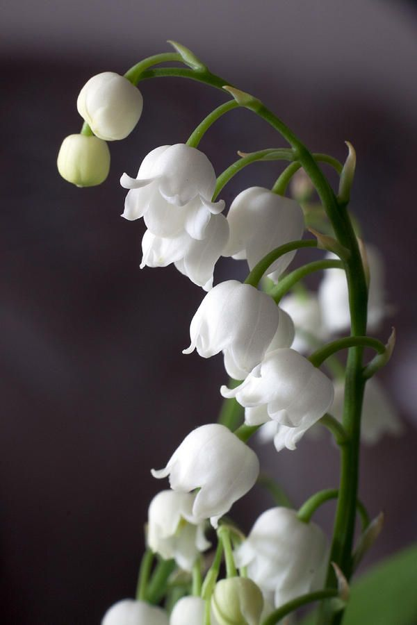 Lily Of The Valley flowers are very small, yet they have a wonderful smell. Tiny & powerful!