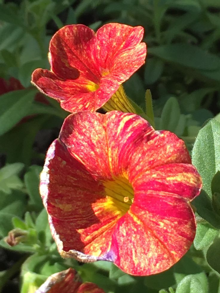 #calibrachoa #cancan #multicoloredflower #petunia #annual #oregonflowers