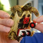 A tiny tortoise called Blade has been fitted with a set of Lego wheels after losing the use of his legs. The poor little chap, who lives in Germany, was taken to the vet after his owner Iris Peste noticed he was finding it hard to get around. Luckily the vet in question was Dr Carsten Plischke, who came up with the ingenious idea of attaching some Lego wheels to the underside of Blade's shell.