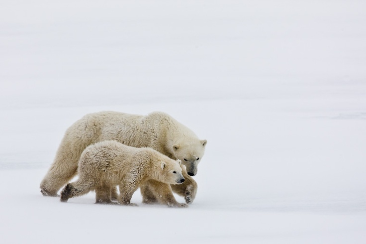 Polar Bears. Patti Schultze.Bears Bears,  Polar Bears, Ice Bears
