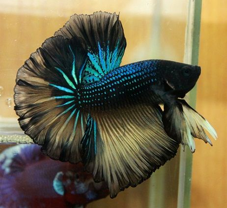 17 best images about fish peixe on pinterest auction for Black betta fish