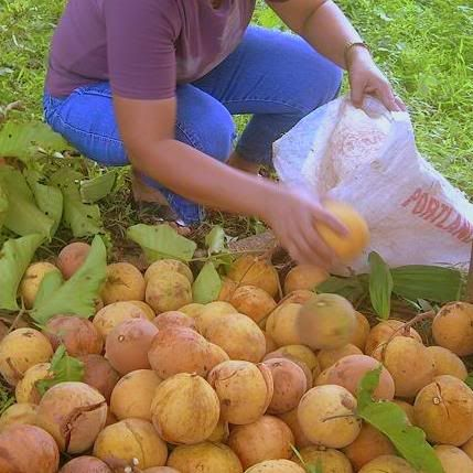 "Santol (Wild Mangosteen) - available during the summer season. The taste is sweet and sour. The bigger variety called ""Bangkok"" is sweeter, the smaller variety is on the sour end. It is also used as souring agent for some Filipino dishes like sinigang."