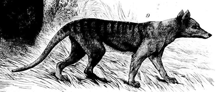 Thylacine sketch in The Illustrated Australian News, Mon. 16 Feb. 1880/Page 29