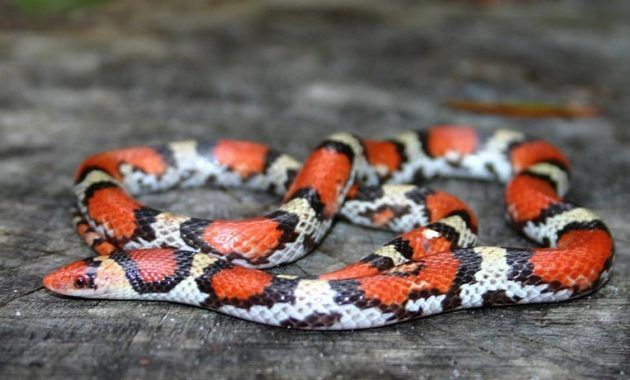 Colorful Small Snake : Scarlet Snake