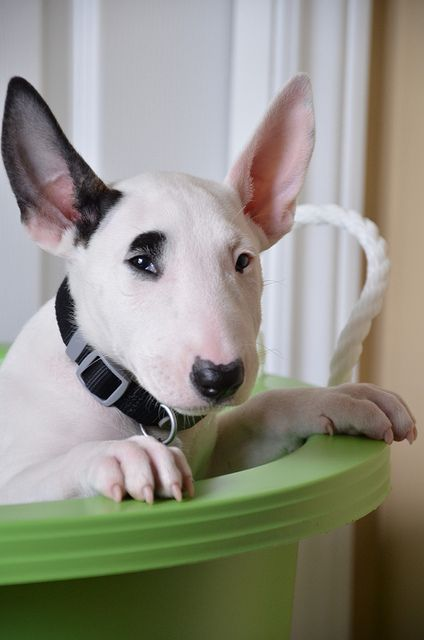 Bull terrier pup GUHHHHH im like freaking out trying to pin this, SOOOOO CUTE!