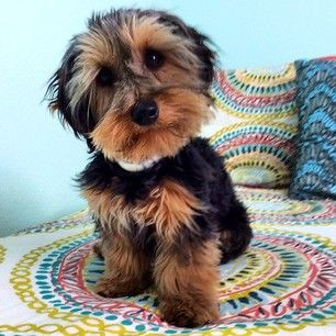Oh My Gosh, A Dachshund Mixed With A Yorkie Is Called A Dorkie And They Are Adorable
