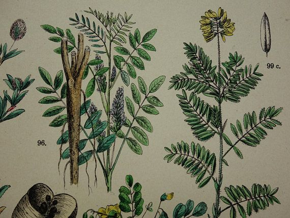 1884 old botanical print Locoweed antique floral illustration Liquorice vintage pictures of Galega Fenugreek Kidney Fetch flower herbs flora