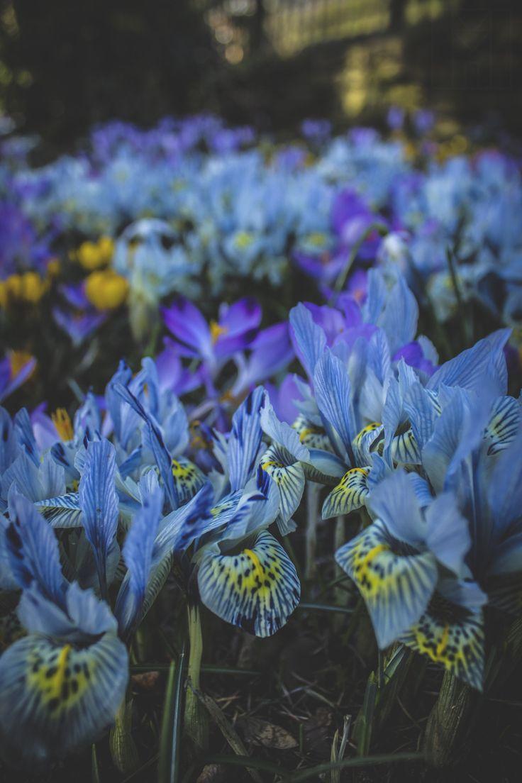 Les 25 meilleures id es de la cat gorie iris flower photos sur pinterest photos de fleurs de for Commander fleurs sur internet