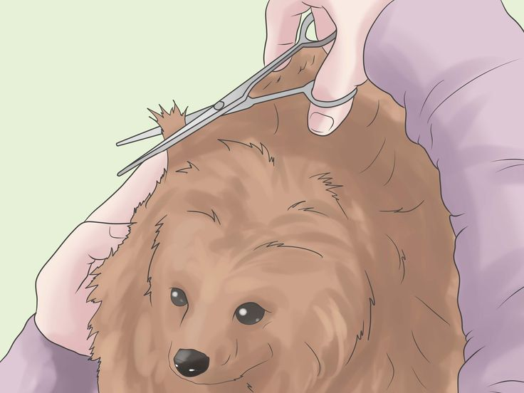 How+to+Groom+a+Pomeranian+--+via+wikiHow.com