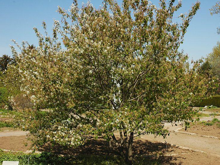 Amelanchier alnifolia (Saskatoon Serviceberry)