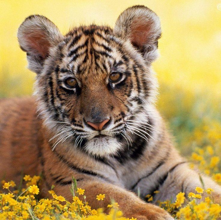 Открытки с изображение тигренка, джима керри